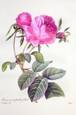 Affisch Rosa centifolia / Rose Centfeuilles foliacé