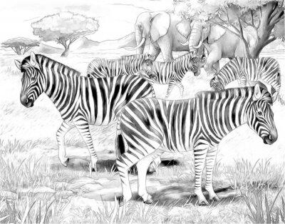 Affisch Safari - sebror - målarbok