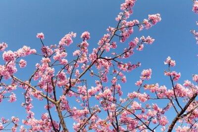 Affisch Sakura