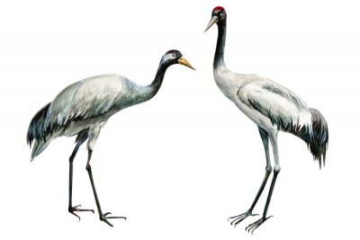 Affisch set of beautiful birds crane on isolated white background, watercolor illustration