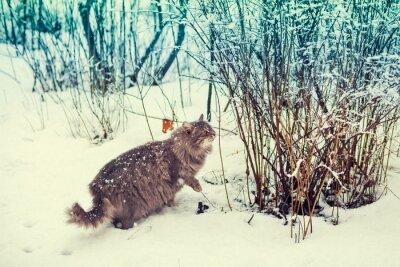 Affisch Siberian katt promenader i snöiga skogen