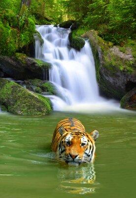 Affisch Siberian tiger i vatten