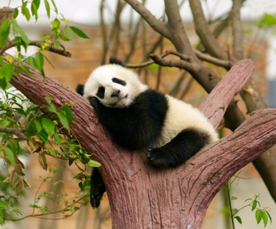 Affisch Sleeping Giant panda