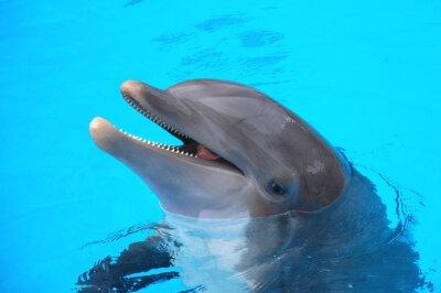 Affisch Śmiejący się w delfin Loro Park na Teneryfie