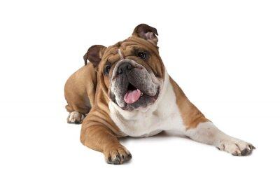 Affisch Stående av engelsk bulldogg på vit bakgrund