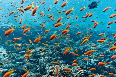 Affisch Stim anthias fisk på korallrev