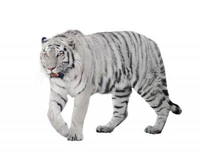 Affisch stor albino tiger isolerat på vit