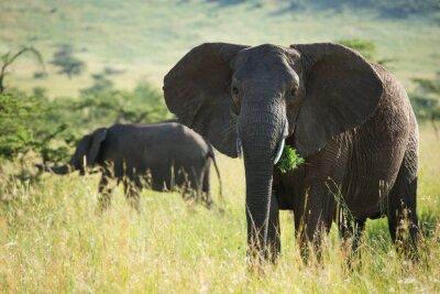 Affisch Stora afrikansk elefant i Serengeti National Park