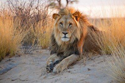 Affisch Stora manliga afrikanska lejon, Kalahariöknen
