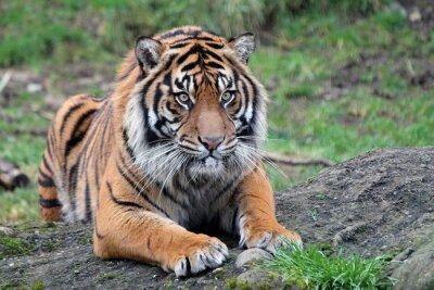 Affisch Sumatran tiger
