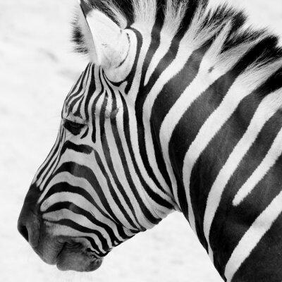 Affisch svart och vit zebra