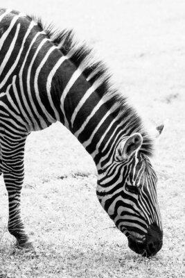 Affisch Svartvitt foto av zebra