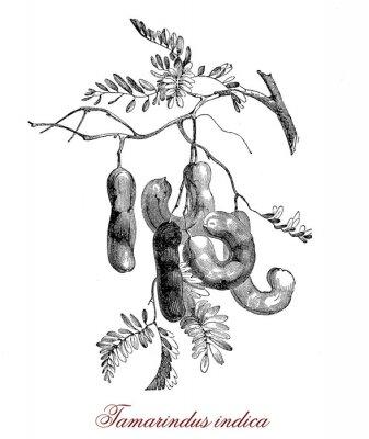 Affisch Tamarindus indica
