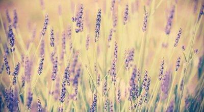 Affisch Tappning tonad lavendel blomma, kort skärpedjup.