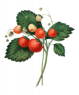 Affisch The Boston Pine Strawberry (1852) by Charles Hovey, a vintage illustration of fresh strawberries. Digitally enhancedby rawpixel.