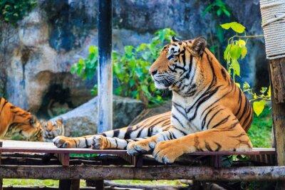Affisch tiger