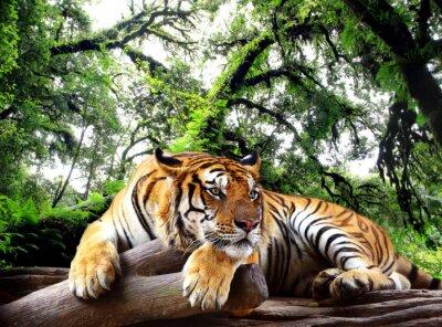 Affisch Tiger ser något på berget i tropiska barrskog