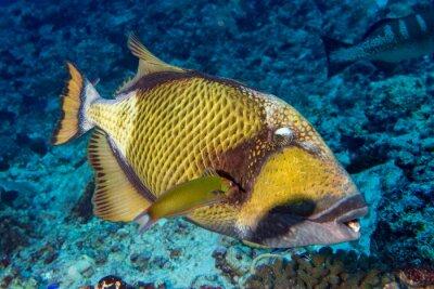 Affisch titan trigger fisk i Maldiverna