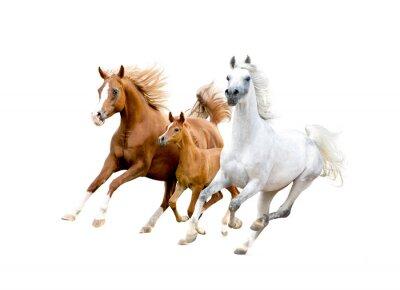Affisch tre arabiska hästar isolerad på vitt