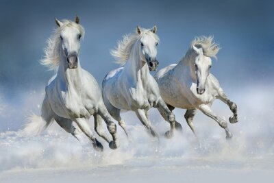 Affisch Tre vit häst köra galopp i snön