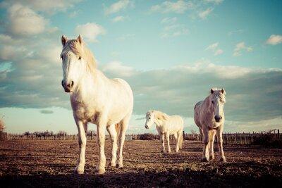 Affisch trois chevaux blancs Camarguais tappning