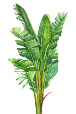 Affisch tropical plants, banana palm on an isolated white background, watercolor illustration, hand drawing, botanical painting