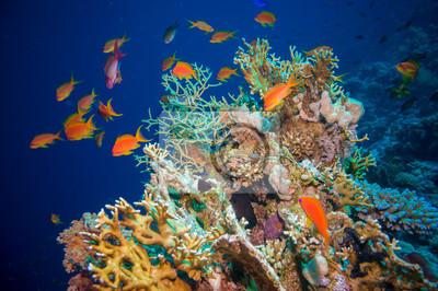 Affisch Tropiska Anthias fisk med netto millepora