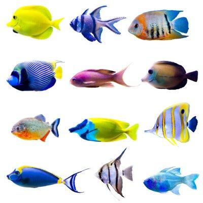 Affisch Tropiska fiskar samling