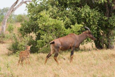 Affisch Tsessebe mamma och kalv