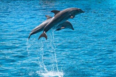 Affisch Två delfiner hoppa över blå vatten