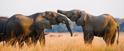 Affisch Två elefanter som leker med varandra. Zambia. Lower Zambezi National Park. Zambezifloden. En utmärkt illustration.