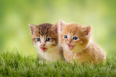 Affisch två kattungar