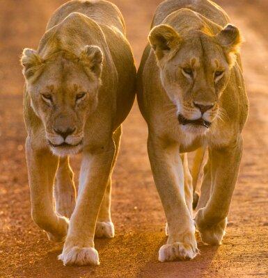 Affisch Två lionesses går på vägen i nationalparken. Kenya. Tanzania. Maasai Mara. Serengeti. En utmärkt illustration.