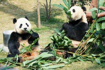 Affisch Två pandor äter bambu
