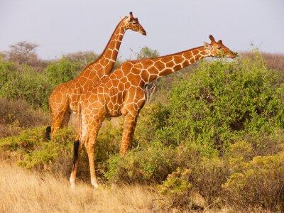 Affisch Två reticulated giraff äter blad från buskar