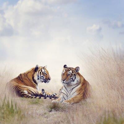 Affisch två tigrar