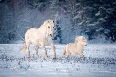 Affisch Två vita hästar som körs på fältet under vintern
