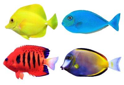 Affisch Uppsättning av tropiska havs fishs