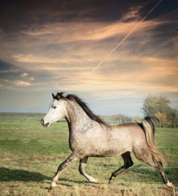 Affisch vacker grå hingst häst som körs på löst över betesmark bakgrund