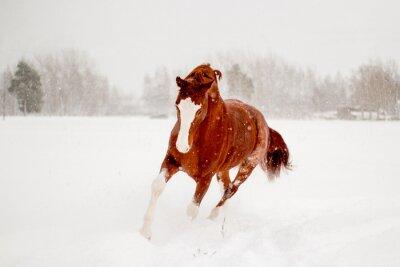 Affisch Vacker kastanj häst som körs i snöfält fri