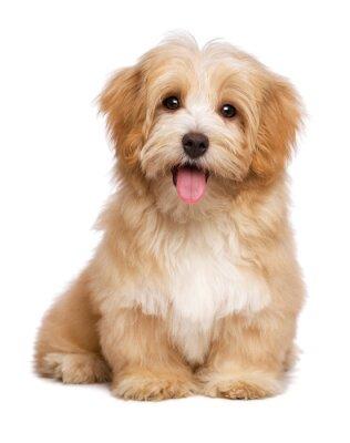 Affisch Vacker lyckligt rödaktig havanese hundvalp sitter frontal