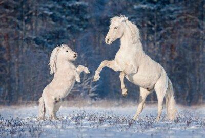 Affisch Vacker vit andalusisk hingst leker med lite shetlandsponny på vintern