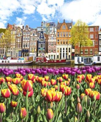 Affisch Vackert landskap med tulpaner och hus i Amsterdam, Holland