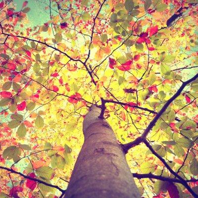 Affisch Vackra vintage höst säsongs solen skiner genom de färgglada bok blad träd. Leta upp till kronan soliga höstträd.