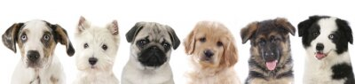 Affisch Verschiedene welpen - Hunde Köpfe aufgereiht
