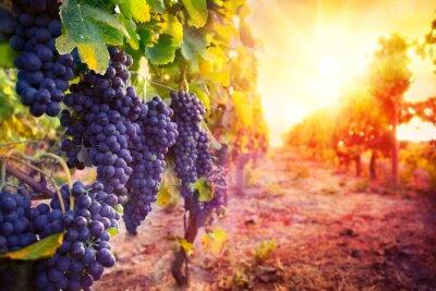 Affisch vingård med mogna druvor i naturen vid solnedgången
