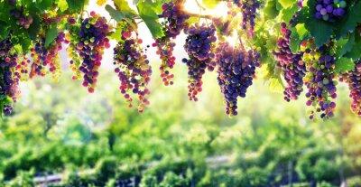 Affisch Vinodling solen som mognar druvor
