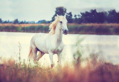 Affisch vit häst körs på sjöstranden