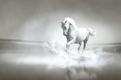 Affisch Vit häst som går genom vatten