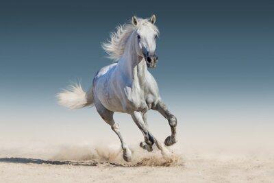 Affisch Vit häst springa galopp